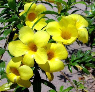 เพลงอุทยานดอกไม้ : ดอกบานบุรี