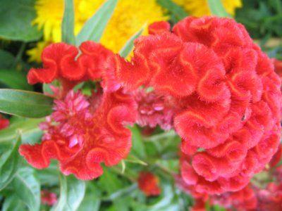 เพลงอุทยานดอกไม้ : ดอกหงอนไก่