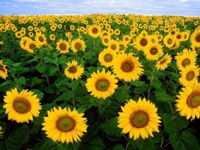 เพลงอุทยานดอกไม้ : ดอกทานตะวัน