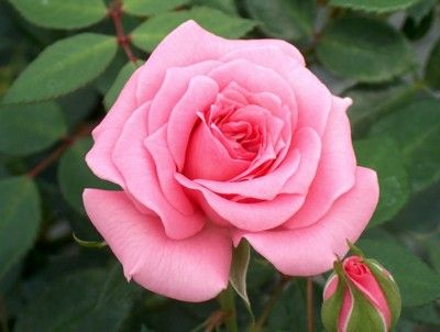 เพลงอุทยานดอกไม้ : ดอกกุหลาบ
