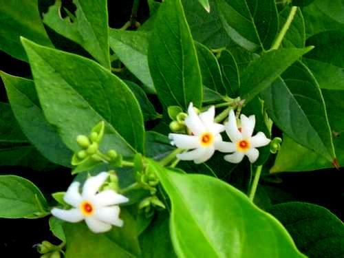 เพลงอุทยานดอกไม้ : ดอกกรรณิการ์