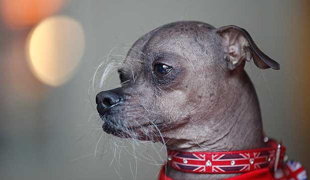 เผยโฉม มักลี สุนัขน่าเกลียดที่สุดในโลก 2012 :