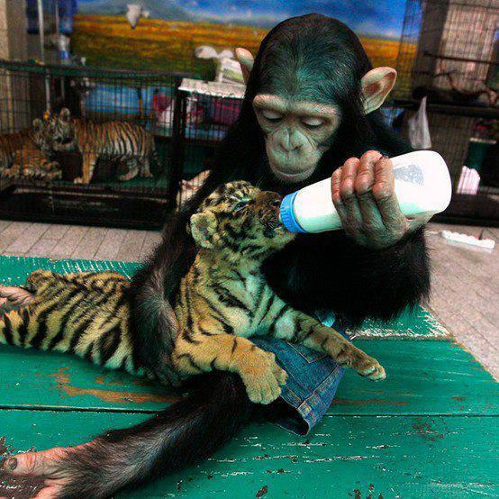 เสือน่ารัก :