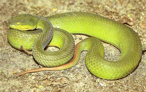 ชูหัว-ตัวยาว : งูเขียวหางไหม้
