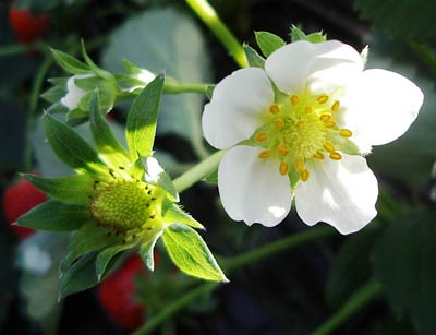 เคยสงสัยไหมว่าดอกและต้นของผลไม้เหล่านี้เป็นยังไง : ดอกสตอเบอร์รี่