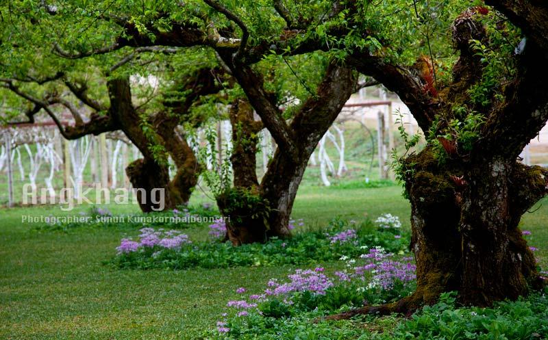 เคยสงสัยไหมว่าดอกและต้นของผลไม้เหล่านี้เป็นยังไง : ต้นบ๊วย
