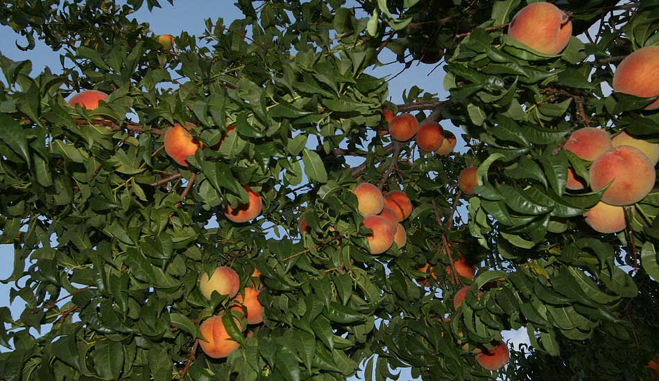 เคยสงสัยไหมว่าดอกและต้นของผลไม้เหล่านี้เป็นยังไง : ต้นพีช