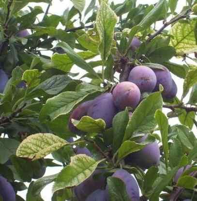 เคยสงสัยไหมว่าดอกและต้นของผลไม้เหล่านี้เป็นยังไง : ต้นพรุน