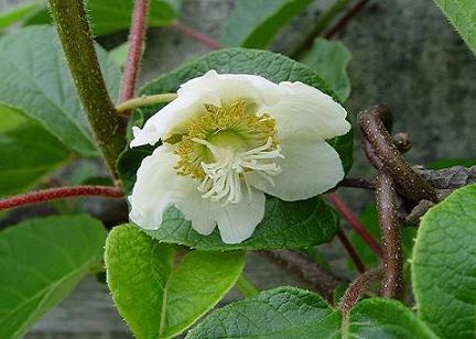 เคยสงสัยไหมว่าดอกและต้นของผลไม้เหล่านี้เป็นยังไง : ดอกกีวี