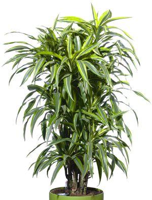 15 ต้นไม้มงคล : 8.ต้นวาสนา หากต้นวาสนาออกดอกจะทำให้มีโชคลาภ