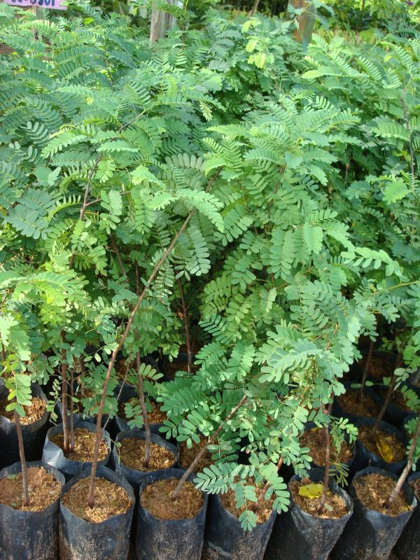 15 ต้นไม้มงคล : 13.มะขาม จะทำให้เป็นที่น่าเกรงขามต่อผู้อื่น