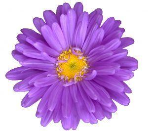 ดอกไม้สีม่วง :