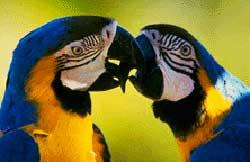 นกแก้วมาคอว์ในสังกัด พันธุ์บลูโกลด์ น่ารักมั้ยๆ :