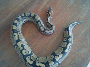 Ball Python สัตวืเลี้ยงน่ารัก